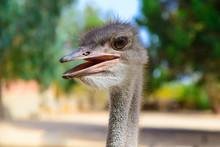 Ostrich Head With Ajar Beak