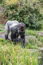 Male Gorilla Searches For Smal...