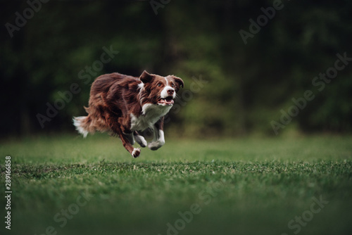 Foto  Brown and white border collie runs fast