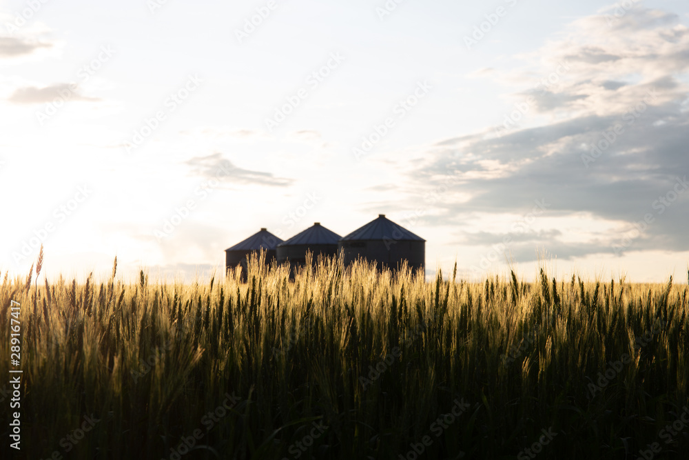 Fototapety, obrazy: Quonset huts in a beautiful wheat field, at sunset, in central Alberta, Canada. Scenic view.