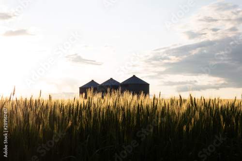 Obraz Quonset huts in a beautiful wheat field, at sunset, in central Alberta, Canada. Scenic view. - fototapety do salonu