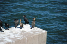 Double Crested Cormorants On P...