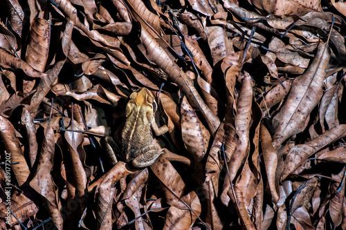 Photo Toad photographed in the city of Cariacica, Espirito Santo
