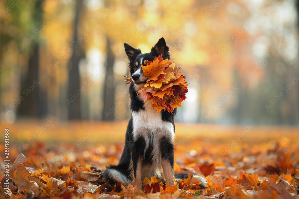 Fototapety, obrazy: The dog holds yellow leaves in the tooth. Border Collie in the park. autumn mood,