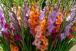 canvas print picture - Gladiolen (Gladiolus)