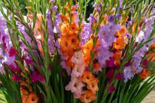 Gladiolen (Gladiolus)