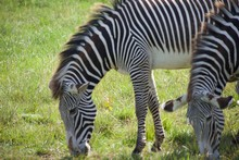Herd Of Grevy's Zebra Grazing ...
