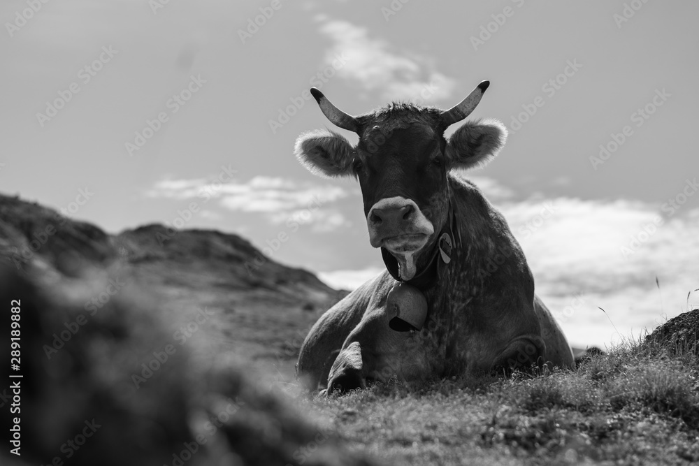 Fototapeta Closeup grayscale shot of a cow laying in a field