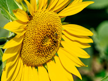 Bee Covered In Pollen On A Sun...