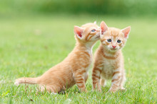 Portrait Of Two Lovely Ginger Tabby Cats Standing On Green Grass Field, One Is Looking At Camera And Another Is Stretching Its Neck And Looking Like Whispering For Secret, Funny Pet Concept.