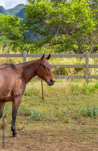A Horse on a ranch in Hawaii