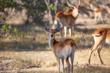 Botswana Red Lechwe