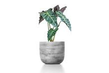 Alocasia Plant In Pot Isolated...
