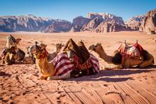 Camels Resting In Wadi Rum Dessert In Jordan