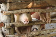 Large Group Of Pigs Playing Together An Waiting To Be Fed In Their Timber Old Farm Style Pig Pen On A Farm In Northern Thailand