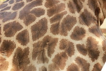 Close Up Of A Giraffes Skin And Patterned Fur On A Large Male Giraffe
