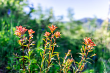 Sunnyside Trail In Aspen, Colorado In Woody In Early 2019 Summer With Scarlet Indian Paintbrush Castilleja Miniata Flowers Wildflowers Closeup