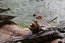Feeding Crocodiles On A Crocodile Farm. Crocodiles In The Pond. Crocodile Farm. Cultivation Of Crocodiles. Crocodile Sharp Teeth. The Meat Flies Into The Jaws Of A Crocodile. Crocodile Is Eating.