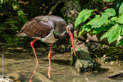 Photo Stands Kangaroo Black stork, Ciconia nigra in a german nature park