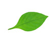 Green leaves isolated on white background/ This has clipping path.