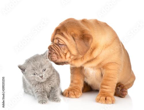 Fototapeta Bordeaux mastiff puppy dog sniffing baby kitten. isolated on white background obraz na płótnie