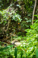 Orb Weaver Spider In Jungle, Chiang Mai, Thailand