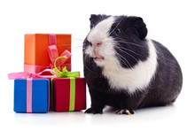 Guinea Pig And Gifts.