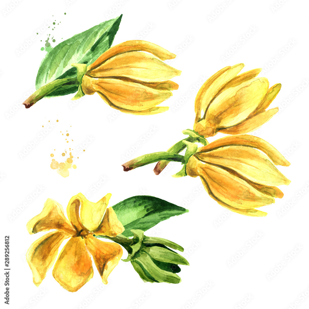 Fototapeta Ylang-Ylang yellow flower set. Cananga odroata. Watercolor hand drawn illustration isolated on white background