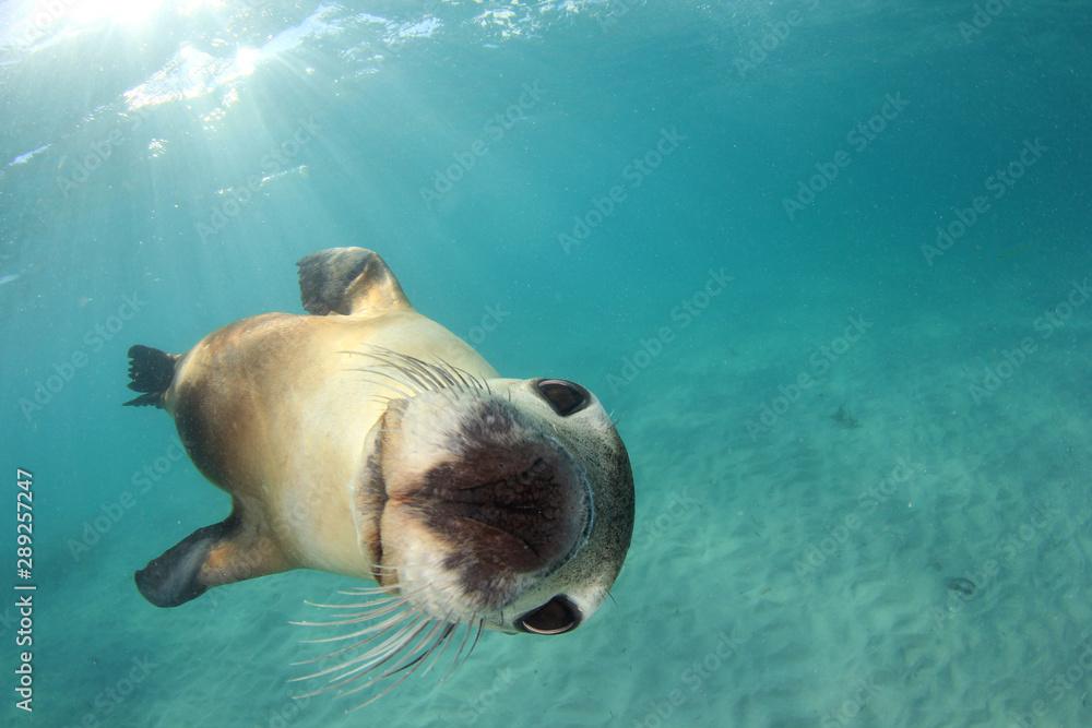Fototapety, obrazy: Australian Sea Lion