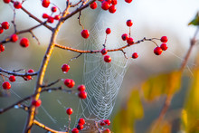 Closeup Bush With Red Berries In A Water Drop  On A Spider Web Background