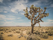 canvas print picture - Joshua tree in national park