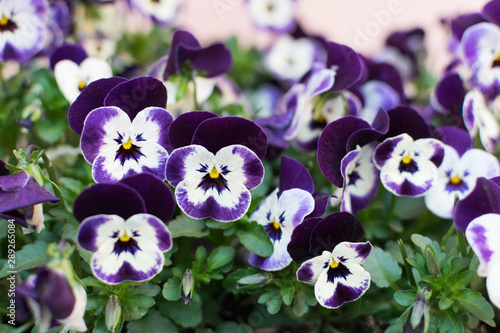 Papiers peints Pansies White-purple colored pansy flowers in spring garden