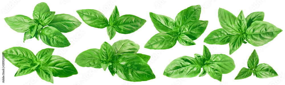 Fototapeta Fresh green basil set isolated on white background