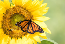 Monarch Butterfly, Danaus Plexippus, On Bright Yellow Sunflowers