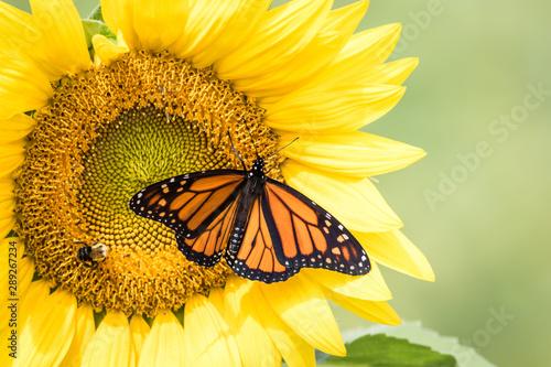 Fényképezés Monarch Butterfly, Danaus Plexippus, on bright yellow sunflowers