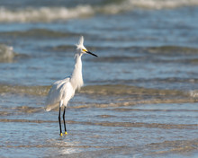 Snowy Egret With His Feathers All Ruffled And Fluffed Up