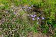 Sandglöckchen / Berg-Sandglöckchen (Jasione cf. montana) auf dem Feldberg im Schwarzwald - sheep's bit scabious, blue bonnets, blue buttons, blue daisy,