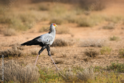 Secretary bird walking in soft light in the Kgalagadi foraging for potential prey. South Africa. Sagittarius serpentarius