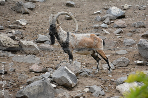 Wild mountain goats are artiodactyls living in mountainous areas Wallpaper Mural