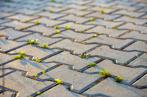 Fotomural  Weed plants growing between concrete pavement bricks.