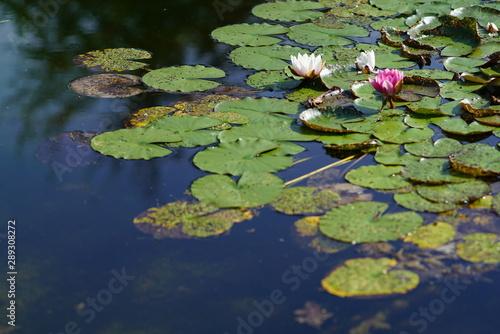Türaufkleber Darknightsky Water lilies