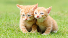 Portrait Of Two Lovely Ginger Tabby Cats Standing On Green Grass Field, Looking Alertly And Stay Close Together, Funny Pet Concept.
