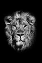 Portrait Of A Powerful Male Lion Isolated On A Black Background, Powerful Head And Beautiful Hairy Mane. Black And White Photo