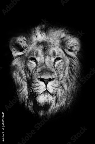 Fototapety, obrazy:  portrait of a powerful male lion isolated on a black background, powerful head and beautiful hairy mane. black and white photo
