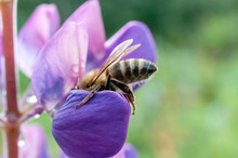 Bee On A Lupine Flower On A Blurred Natural Background, Macro