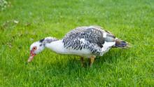 Wild Muscovy Duck On Grass