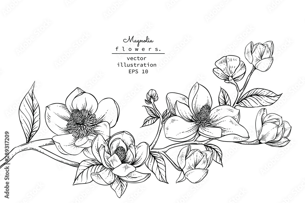 Fototapeta Sketch Floral Botany Collection. Magnolia flower drawings. Black and white with line art on white backgrounds. Hand Drawn Botanical Illustrations.Vector.