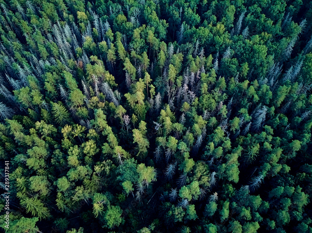 Fototapety, obrazy: Beautiful panoramic aerial drone view to Bialowieza Forest - one of the last and largest remaining parts of the immense primeval forest that once stretched across the European Plain