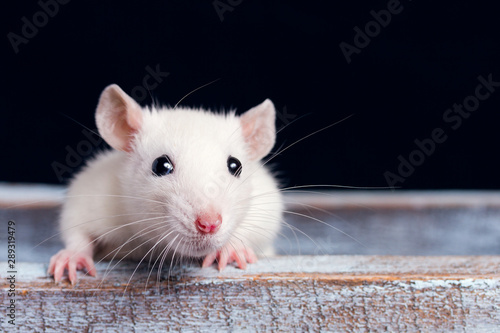 white rat on a  wooden table on a black background, place for your text, the sym Canvas Print