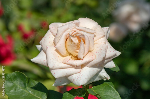Close-up of Rosa Iceberg (White) plant. Single rose